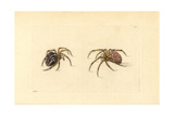 Garden Spider, Araneus Diadematus Giclee Print by Richard Nodder