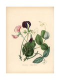 Sweet Pea, Lathyrus Odoratus, and Cultivated Pea, Pisum Sativum Giclee Print by M.A. Burnett