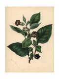 Deadly Nightshade, Atropa Belladonna Giclee Print by M.A. Burnett