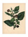 Deadly Nightshade, Atropa Belladonna Giclee Print by M.A. Burnett