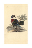 American Wood Duck, Aix Sponsa Giclee Print by Edward Donovan