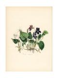 Sweet Violet, Viola Odorata Giclee Print by M.A. Burnett