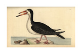 Black Skimmer, Rynchops Niger Giclee Print by Richard Nodder