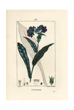 Lungwort, Pulmonaria Officinalis Giclee Print by Pierre Turpin