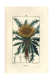 Carline Thistle, Carlina Aculis Giclee Print by Pierre Turpin