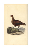Red Grouse (Female), Lagopus Scotica Giclee Print by Edward Donovan