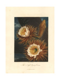 Night-Blowing Cereus, Hylocereus Undatus Giclee Print by Philip Reinagle