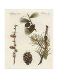 Scots Pine, Pinus Sylvestris, and European Larch, Larix Decidua Giclee Print