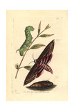 Privet Hawk Moth, Sphinx Ligustri Giclee Print by Richard Nodder