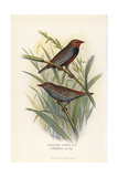 Painted Finch, Emblema Pictum Giclee Print by Frederick William Frohawk