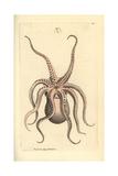Horned Octopus, Eledone Cirrhosa Giclee Print by Frederick Nodder