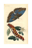 Morpho Telemachus Butterfly Giclee Print by Richard Nodder