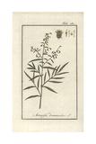 Tarragon, Artemisia Dracunculus Giclee Print