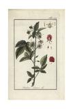Raspberry, Rubus Idaeus Giclee Print