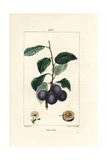 Prune or Plum Tree, Prunus Domestica Giclée-Druck von Pierre Turpin
