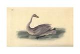 Wild Swan (Immature), Cygnus Cygnus Giclee Print by Edward Donovan