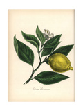 Lemon, Citrus Limonum, with Fruit, Flower and Leaf Giclee Print by M.A. Burnett