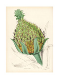 Pineapple, Ananas Comosus Giclee Print by M.A. Burnett