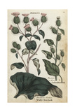 Woolly Burdock and Lesser Burdock Giclee Print