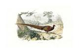 Pheasant, Phasianus Colchicus Reproduction procédé giclée par Edouard Travies