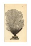 Fan Sponge, Spongia Flabelliformis Giclee Print by Frederick Nodder