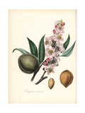 Common Almond, Prunus Amygdalus Giclee Print by M.A. Burnett