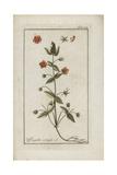 Scarlet Pimpernel, Anagallis Arvensis Giclee Print