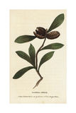 Banksia Shrub, Unknown Species Giclee Print