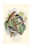 White Throated Finch and Bluish Finch Giclee Print by Frederick William Frohawk