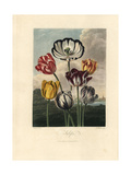 Tulip Varieties from the Temple of Flora, 1812 Giclee Print by Philip Reinagle