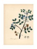 Roughwood Lignum Vitae, Guaiacum Officinale Endangered Giclee Print by M.A. Burnett