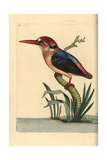 Black-Backed or Oriental Dwarf Kingfisher, Ceyx Erithaca Giclee Print by George Shaw