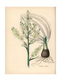 White Hellebore, Veratrum Album Giclee Print by M.A. Burnett