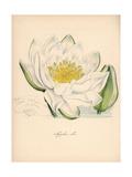 European White Waterlily, Nymphaea Alba Giclee Print by M.A. Burnett