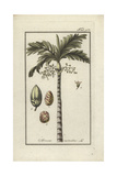 Areca Nut Palm Tree, Areca Catechu Giclee Print