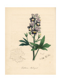Palmated Larkspur or Stavesacre, Delphinium Staphisagra Giclee Print by M.A. Burnett