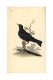Eurasian Blackbird, Turdus Merula Impression giclée par Edward Donovan