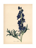 Common Monkshood or Wolfsbane, Aconitum Napellus Giclee Print by M.A. Burnett