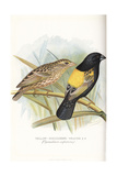 Yellow-Mantled Widowbird, Euplectes Macrourus Giclee Print by Frederick William Frohawk