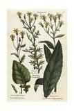 Water Ragwort, Mountain Groundsel and Saracens Consounds Giclee Print