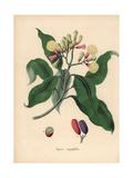 Clove Spice Tree, Syzygium Aromaticum Giclee Print by M.A. Burnett
