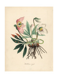 Black Hellebore or Christmas Rose, Helleborus Niger Giclee Print by M.A. Burnett
