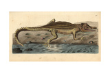 Nile Crocodile, Crocodylus Niloticus Giclee Print by Richard Nodder