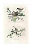 Eurasian Blackcap and Whitethroat Giclee Print by Edouard Travies