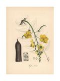 Golden Shower Tree, Cassia Fistula Giclee Print by M.A. Burnett