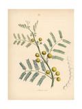 Egyptian Gum Arabic, Acacia Nilotica Giclee Print by M.A. Burnett