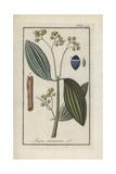 Cinnamon Tree, Laurus Cinnamomum Giclee Print