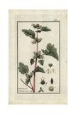 Cocklebur, Xanthium Strumarium Giclee Print