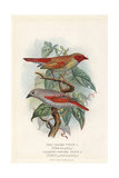 Orange-Winged Pytilia and Red-Winged Pytilia Giclee Print by Frederick William Frohawk