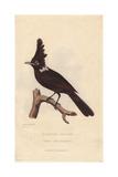 Crested Shrike Jay, Platylophus Galericulatus Giclee Print by Charles Hamilton Smith